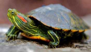 Лечение красноухих черепах в домашних условиях