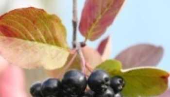 Черноплодка полезные свойства и противопоказания