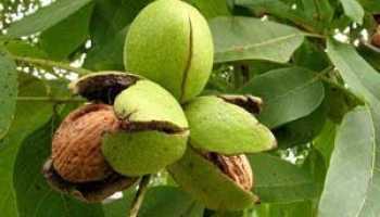 Грецкий орех свойства применение