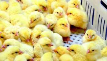 Какие антибиотики давать цыплятам бройлерам