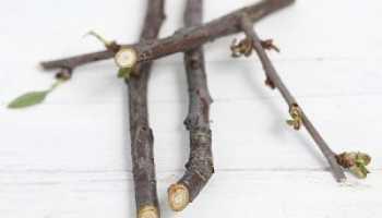 Ветки вишни полезные свойства и противопоказания