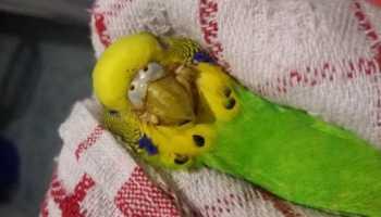 Какие антибиотики можно попугаям