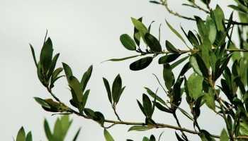 Лечение гайморита лавровым листом в домашних условиях